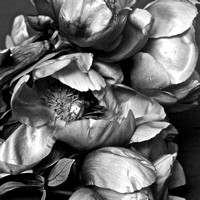 Mother's Day Peonies in Black and White